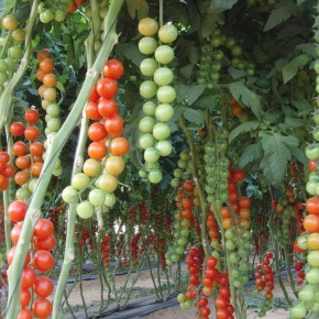 Russia drops Turkish tomato imports for Israeli ones